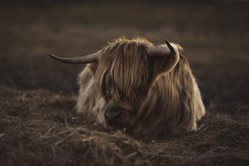 Keuken foto achterwand Schotse Hooglander Scottish Highland Cattle