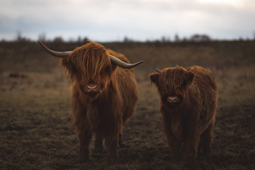 Canvas Prints Highland Cow Scottish Highland Cattle