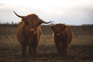 Door stickers Highland Cow Scottish Highland Cattle