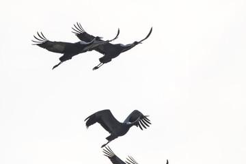 White-naped crane (Grus vipio) flying in the sky
