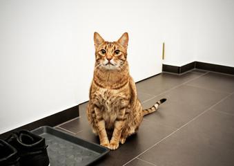 Serious cat ocicat on guard. Concept: guarding house Wall mural