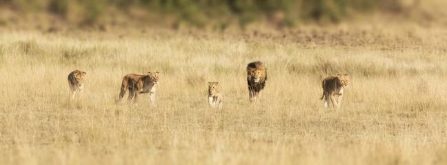 Pride of lions in the Masai Mara