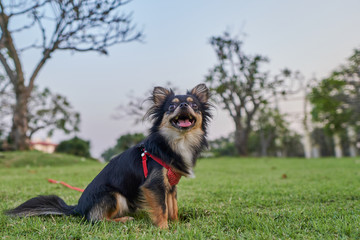 black chihuahua is sitting on the lawn and smiling happily.