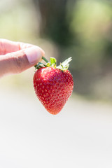Fresh red ripe strawberry fruit on  hand