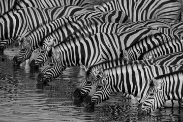 Canvas Prints Zebra Zebras drinking at a waterhole in Etosha National Park
