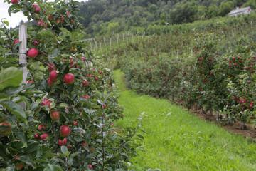 Apple tree Lofthus