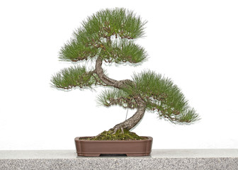 Pine bonsai tree on a table in front of white wall