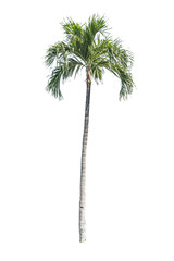Isolated palm tree on white background