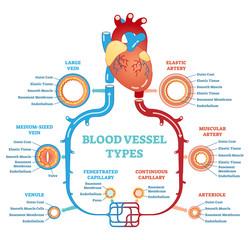 Blood vessel types anatomical diagram, medical scheme. Circulatory system. Medical educational information.