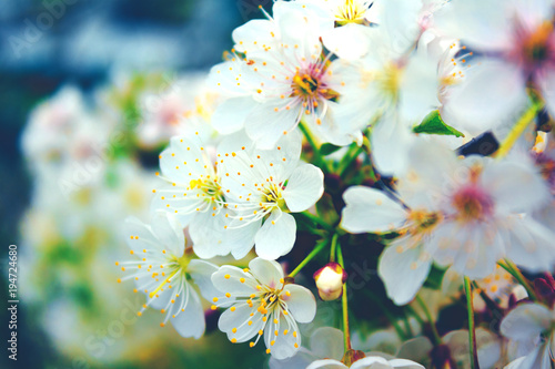 Cherry blossom tree in spring big white flower on tree stock photo cherry blossom tree in spring big white flower on tree mightylinksfo