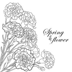 Vector corner bouquet with outline black Carnation or Clove flower, bud and leaf isolated on white background. Ornate carnation for greeting spring design, coloring book. Contour Mother day symbol.