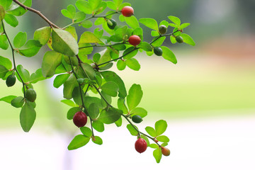 Lemon tree branch, Chinese Lime, Lime Berry (Triphasia Trifolia, Rutaceae)