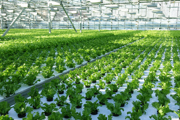 Growing vegetables in a greenhouse.