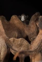 Familia camellos