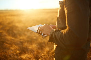 Farmer Checking Wheat Field Progress, Holding Tablet Using Internet.Copy Space Of The Setting Sun Rays On Horizon In Rural Meadow. Close Up Nature Photo Idea Of A Rich Harvest