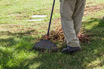 gardener rake dry leaves from a green grass