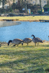 Wild geese on the shore of the lake