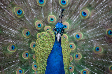Beautiful peacock with feathers out close up