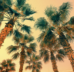 Vintage palm trees against orange sunset sky. Natural tropical background. Bottom view. Date palm trees plantation