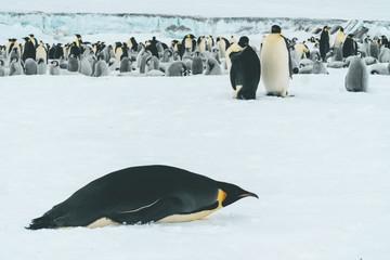Emperor Penguin Colony - Antarctica