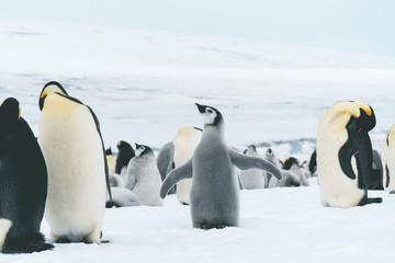 Young Emperor Penguin - Antarctica