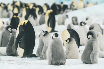 Baby Emperor Penguins in their Colony - Antarctica