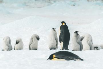 Emperor Penguins with Babys - Antarctica