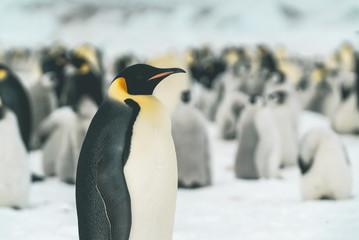 Emperor Penguin in front of its Colony - Antarctica