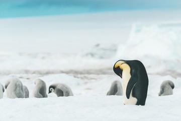 Adult Emperor Penguin cleaning itself - Antarctica