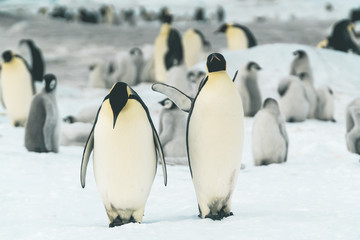 Pair of Adult Emperor Penguins - Antarctica