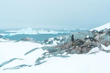 Gentoo Penguins on Rocks - Antarctica