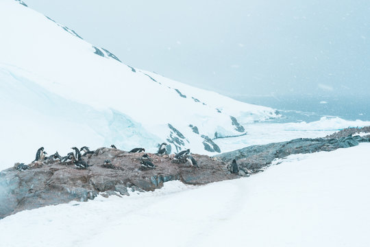 Group of Gentoo Penguins on a Cliff - Antarctica
