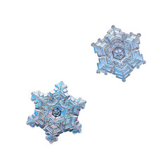 Two snowflakes isolated on white background. Macro photo of real snow crystals: stellar dendrites with short, broad arms, glossy relief surface, fine hexagonal symmetry and beautiful inner patterns.