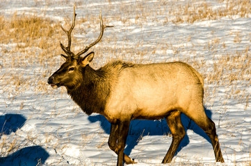 An elk feeding in winter