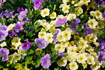 ivory and purple petunia