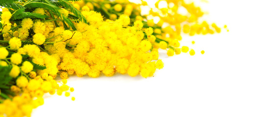Canvas Print  - Mother's Day background. Mimosa spring flowers border isolated on white