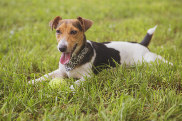 Cute happy smiling jack russell dog laying on a grass in park. Summer warm day