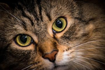 TABBY CAT BIG GREEN EYES