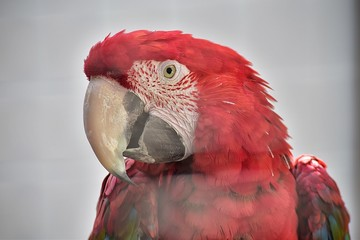 Papagaio vermelho do Monte Brasil na ilha Terceira