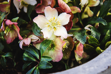 Stone garden arrangement with spring flowers in large concrete plant pots. Close up of helleborus flowers also known as snow rose.