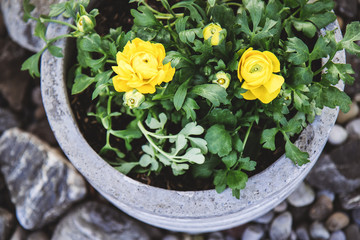 Stone garden arrangement with spring flowers in large concrete plant pots. Close up of yellow and white ranunculus flowers.