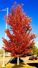 Candy Red Tree