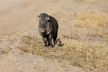 Javelina in Bosque del Apache National Wildlife Refuge, New Mexico