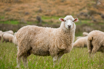 Cute sheep portrait, staring at a photographer, grazing in a green farm in New Zealand