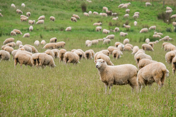 Fond de hotte en verre imprimé Sheep Flock of sheeps grazing in green farm in New Zealand