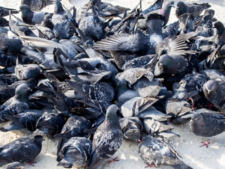many pigeons eat on the sidewalk with snow in winter