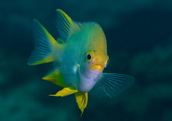 Golden damselfish ( Amblyglyphidodon aureus ) swims upon corals of  Bali, Indonesia