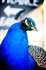 Peacock (Pavo cristatus), Indian peafowl close up portrait