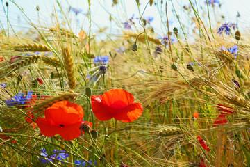 Idyllic Poppies and cornflowers in the grain field, Lüneburg Head, Germany. Backlit Photograph