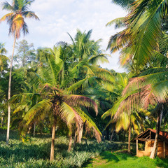 Tropical garden with coconut palms and a pineapple plantation.